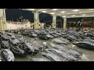 Япония сократит промысел голубого тунца