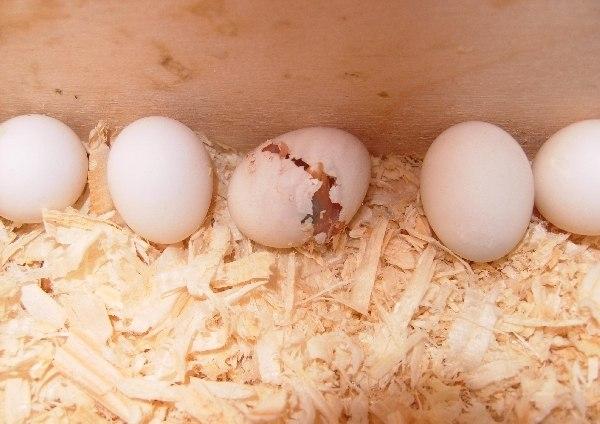 Можно ли попугаю яичную скорлупу