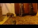 Домашняя енотовидная собака