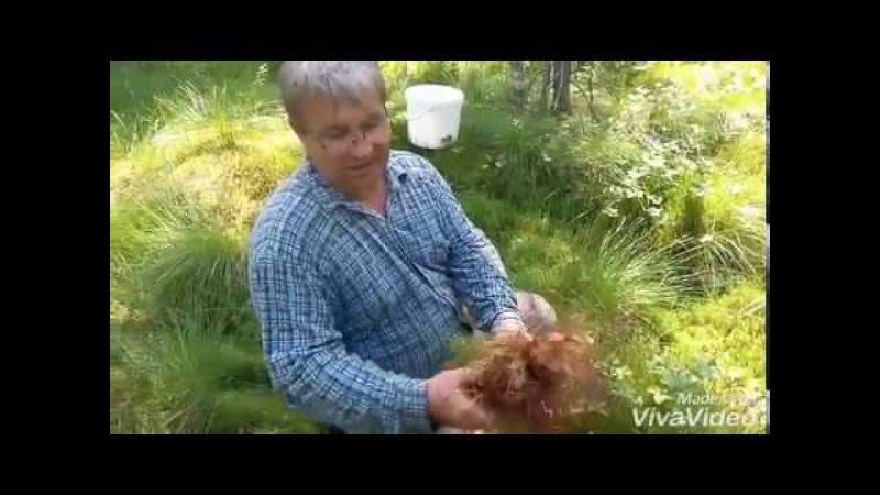 Заготовка мха для сборки деревянных срубов. Мох сфагнум, кукушкин лен.