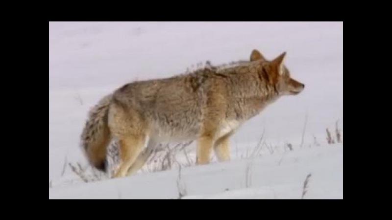 Coyote vs Bald Eagles - Yellowstone - BBC