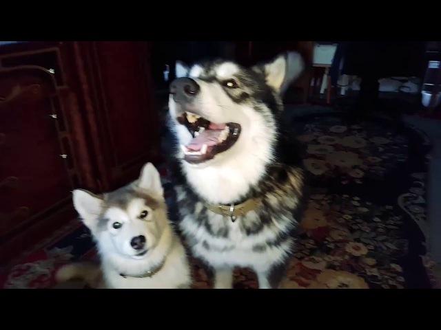 АЛЯСКИНСКИЙ МАЛАМУТ ВОЕТ НА ИГРУШКУ / Alaskan Malamute singing