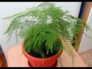 АСПАРАГУС – неприхотливое комнатное растение. Уход и размножение в домашних ус