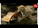 Worlds smallest cat - Big Cats Preview - BBC One
