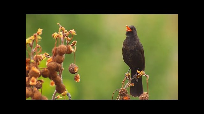САМЫЕ ПЕВЧИЕ ПТИЦЫ) Пение птиц в ЖИВУЮ без фанеры
