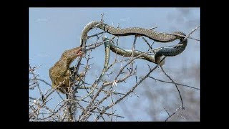Đang đói gặp ngay con mồi ngon Rắn hổ mang Bỏ mạng - Honey badger vs King cobra vs Lizard
