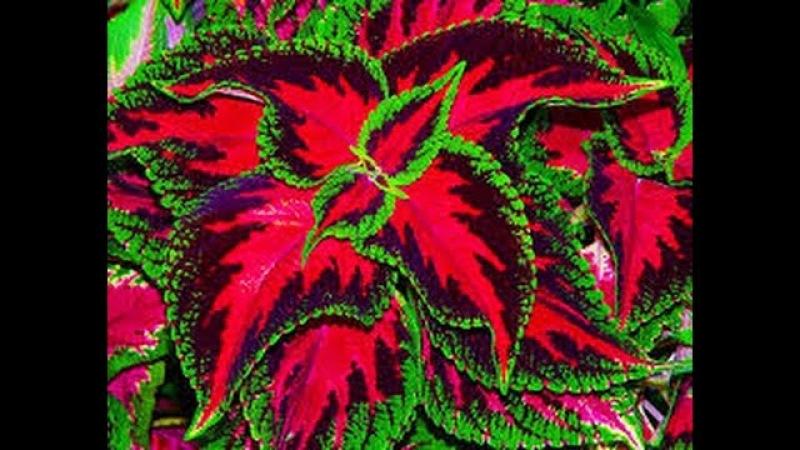 Plantas e folhagens coloridas e ensaio CCB. cod. X 20