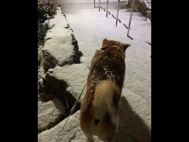 "Shibainu berry on Instagram: ""It snowed by a night walk☃️❄️ The berry is excited🐻🌀💨 夜の散歩で雪降ってきた〜! お12420"