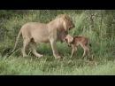 Лев спасает маленькую Антилопу от других львов