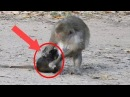Break Heart When See Baby Monkey Hurt, Why Bad Mum Fight Baby Monkey Cry Very Loudly