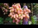 Когда высаживать саженцы винограда Осенью или весной Виноград 2017