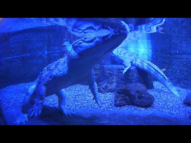 Спящий крокодил, похож на пластмассового, но он живой, Крокус сити океанариум
