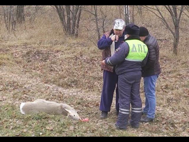 На трассе в Нижнекамске легковушка сбила сибирскую косулю