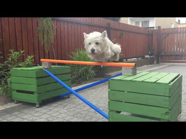 West Highland White Terier - Flicka, sztuczki, tricks )