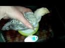 Цыплятам три недели. Контрольное взвешивание