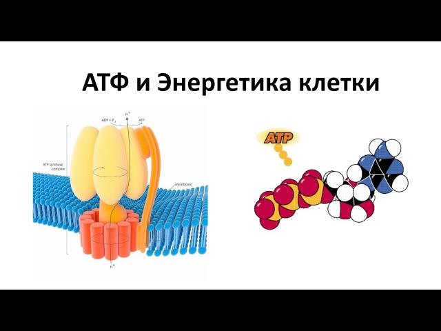 6. АТФ и энергетика клетки (9 или 10-11 класс) - биология, подготовка к ЕГЭ и ОГЭ 2018