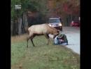 Дружелюбный олень пристает к фотографу