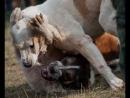 Собачьи бои Дог против Кавказца, ЖЕСТЬ, КРОВь, МЯСО
