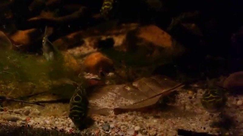 Tetraodon biocellatus Biotope Aquarium