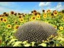 Высокоолеиновые сорта подсолнечника