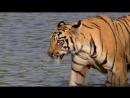 Animal Planet Банда тигриц 2014 HD 1080p