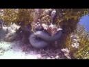 Схватка мурены и рыбы-камень
