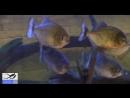 Что Будет Если Засунуть Руку в Аквариум с Пираньями. Put his hand in the aquarium with piranhas.