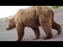 Когда бежать поздно... Да и не нужно! Туристы и медведица с медвежатами.
