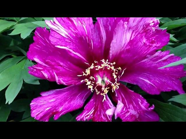 Peony Morning Lilac (Itoh Hybrid) - www.peonyshop.com