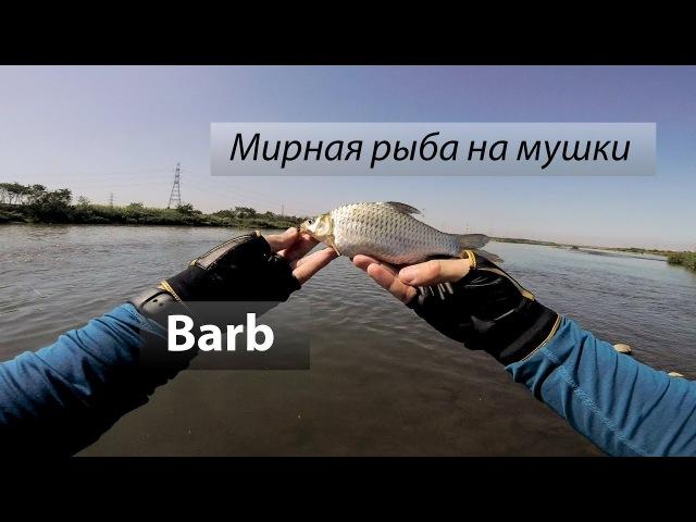 Река 烏溪, Тайвань. Мирная рыба на мушку. Barb (高體高鬚魚). 201803
