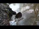 Бобер в Лихоборке-2