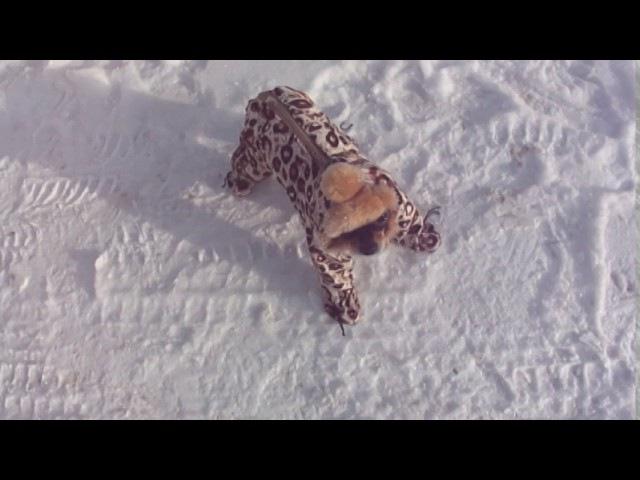 Той Терьер гуляет зимой. Собака Дианы. собака ржака
