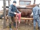 Задержание плаценты у кобылы Терапия Detention placenta in mares Therapy