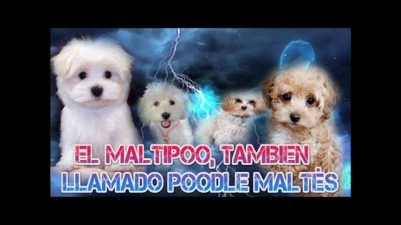Maltipoo maltés y poodle o caniche