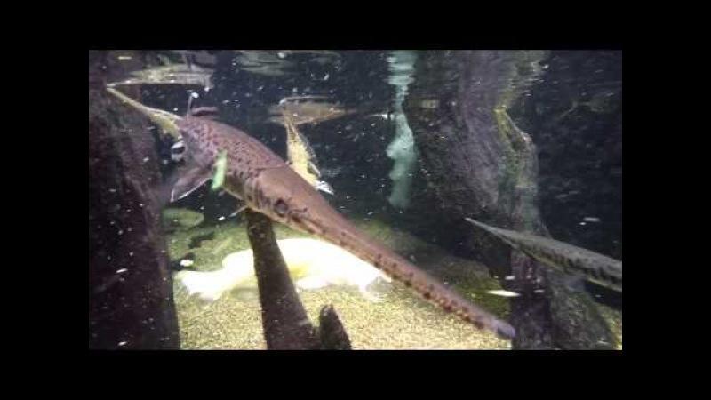 Tong feeding the longnose gar (Lepisosteus osseus) in our Cypress Swamp exhibit