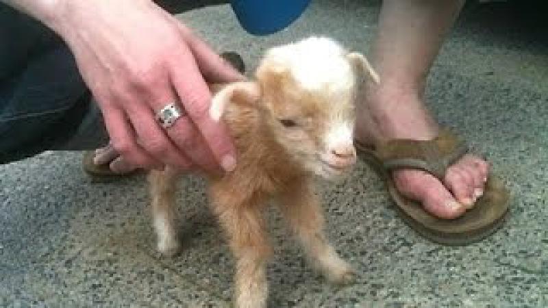 Cabras del bebé lindo - un lindo y divertido bebé cabras. compilación   Nueva, HD