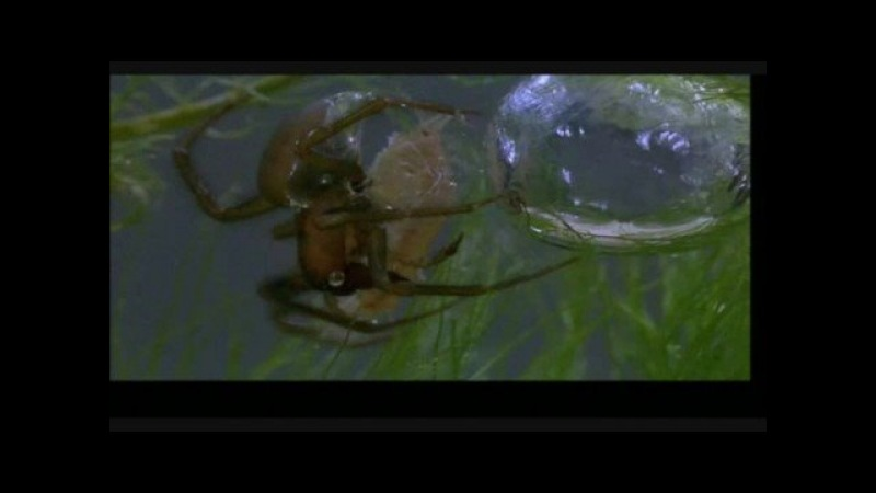 Incredibly Smart Spider Under Water HQ Video