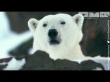 Polar bear saves cubs from dangerous male polar bear