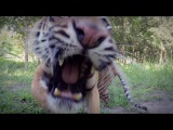 Let The Tiger Go - Courtesy of GoPro  The Lion Whisperer