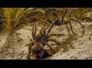 Брачные игры тарантулов дикой Патагонии