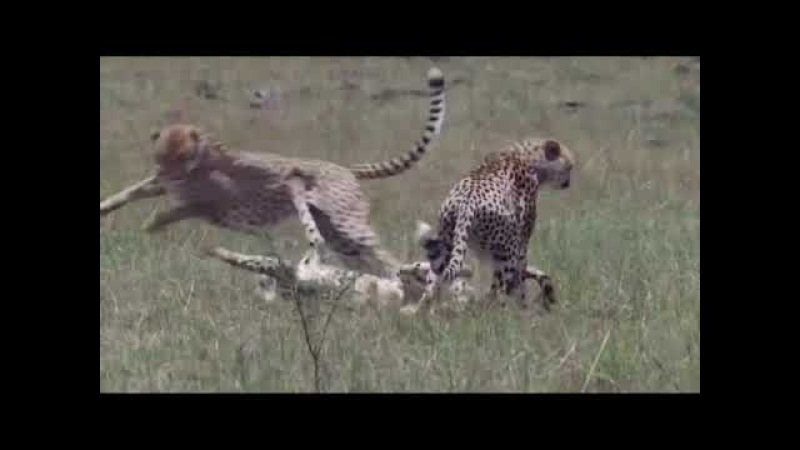 Real wildlife 3 Cheetah Vs Cubs Mother Try To Fight To Protect Baby And Injured