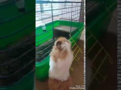 Фильм о морской свинке Нюше Нюша пытаеться залезть в клетку