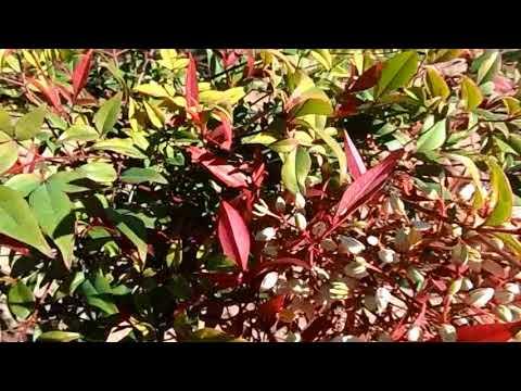 Весна в Испании, Nandina Domestica, нандина, цветение, декоративные растения, 27/01/2018