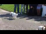 Кот гоняет собак