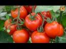 Выращивание томатов Секреты хорошего урожая помидоров Дачные советы и рекомендации