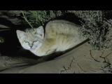 Барханный кот!!!!!!!!!! Ближе, чем с десяти футов!!! Thug Hamster