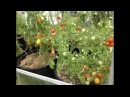 ВЫРАЩИВАНИЕ ПОМИДОР В МЕШКАХ. КАК САЖАТЬ. Май 2017. How to grow Tomatoes in Bags.
