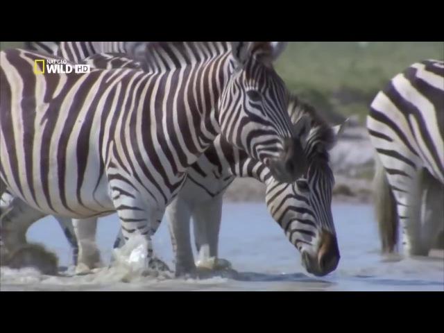 Дикая Калахари Документальные фильм National Geographic