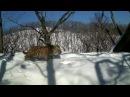 Лесное реалити-шоу: семья тигров поселилась вблизи фотоловушек «Земли леопарда»