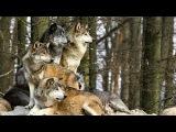 В лесу беременную женщину спасла стая диких волков